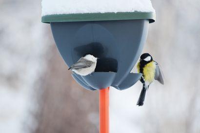 Lintulaudalla: Pyrstösulkansa menettänyt hömötiainen sai nimekseen Pommi