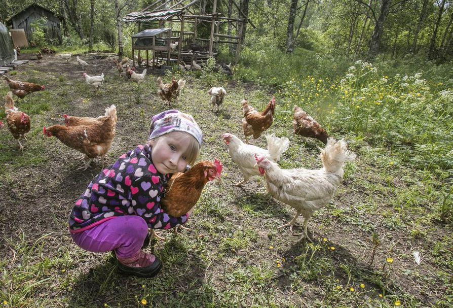Van der Vegtit pitävät myös kanoja. Heidän vapaana kulkevasta, noin 250 kanan parvestaan iso osa koostuu tehokanalapoistoista, jotka muuten olisivat menneet teuraaksi. Kanat munivat minkä munivat, ja saadut kananmunat myydään yksityisille. Elisa Van der Vegt on tilan uuttera pikkuapuri, joka tuntee eläimet nimeltä.