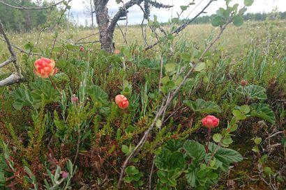 """""""Suot ovat punaisenaan hillan raakileita Oulun ympärillä"""" – lukija arvioi, että ensimmäiset lakat kypsyvät viikonloppuna"""