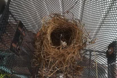 Lukijan kuva: Linnunpesä voi syntyä vaikka yhdessä yössä polkupyörän koriin