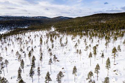 Pääkirjoitus: Greenpeacen väite Suomen metsäpolitiikan epäonnistumisesta on epäonnistunut