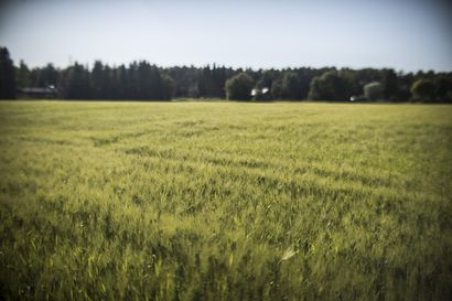 """Kuiva alkukesä alkoi jo verottaa peltoja, heinäkuun sateet olivat sadoille helpotus – """"Oli kaksi rutikuivaa kesää, mutta nyt näyttää hyvältä"""""""
