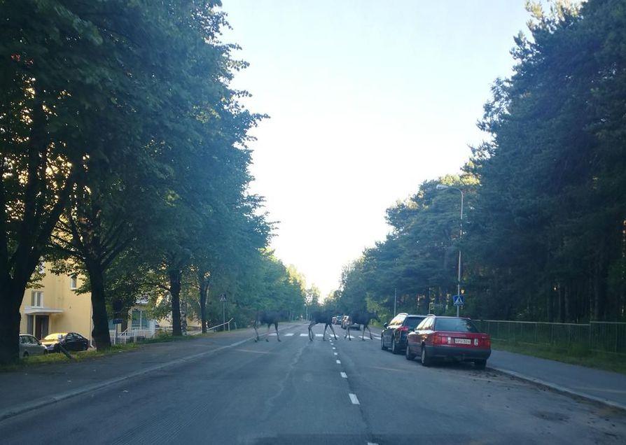 Hirvet marssivat kohti Tuiranpuistoa varhain tiistaiaamuna.