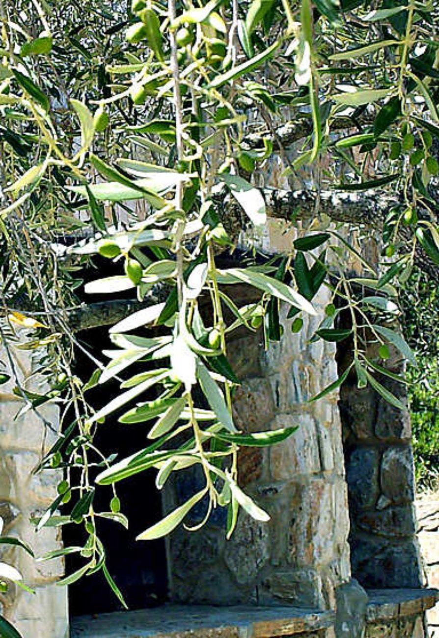 Luonnonvaraista oliivipuuta tavataan Välimeren ympäristössä, jossa se kasvaa vuorten rinteillä sekä rantapenkereillä. Villi oliivi muistuttaa paljon viljeltyjä kantoja, mutta sen marjat ovat huomattavasti pienemmät. Kuvan oliivipuut kasvavat Pohjois-Tunisiassa, Ichkeul-järven luonnonsuojelualueella.