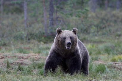 Itä-Suomessa saaliiksi jää harvoin 200-kiloisia karhuja, sillä suurimmat ja kokeneimmat nallet häipyvät metsästyksen alkaessa Venäjälle turvaan