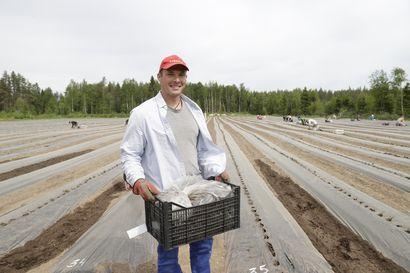"""Mansikkapelloilla Korona tunnettiin suosittuna mansikkalajikkeena, nyt se on maailmanlaajuinen epidemia – """"Jos heinäkuun puolivälissä on tällaiset helteet, niin sitten ollaan tiukilla, jos poimijoita ei ole riittävästi"""""""