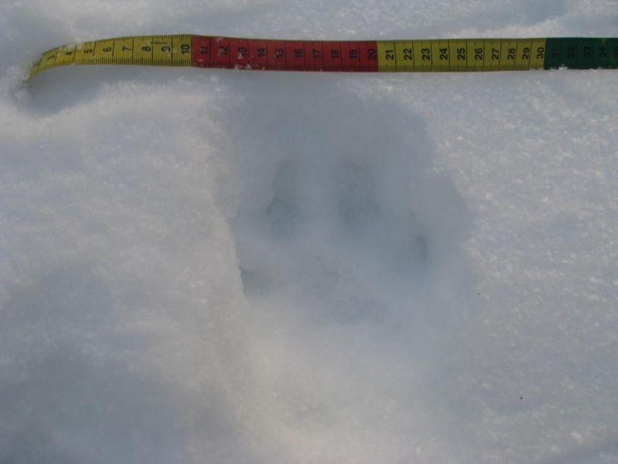 Ilveksen tassun jälki piirtyi pehmeään lumeen Kastellissa.