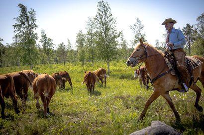 Yppäriläinen Heikki Saukko alkoi eläkkeellä cowboyksi: nyt hän kuljettaa sarvipäisten sonnien lauman sinne minne pitääkin