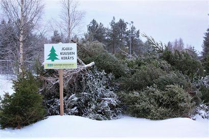 Vanhoja joulukuusia kerättiin Rovaniemellä lähes 16000 kiloa – puut hyödynnetään energiantuotannossa