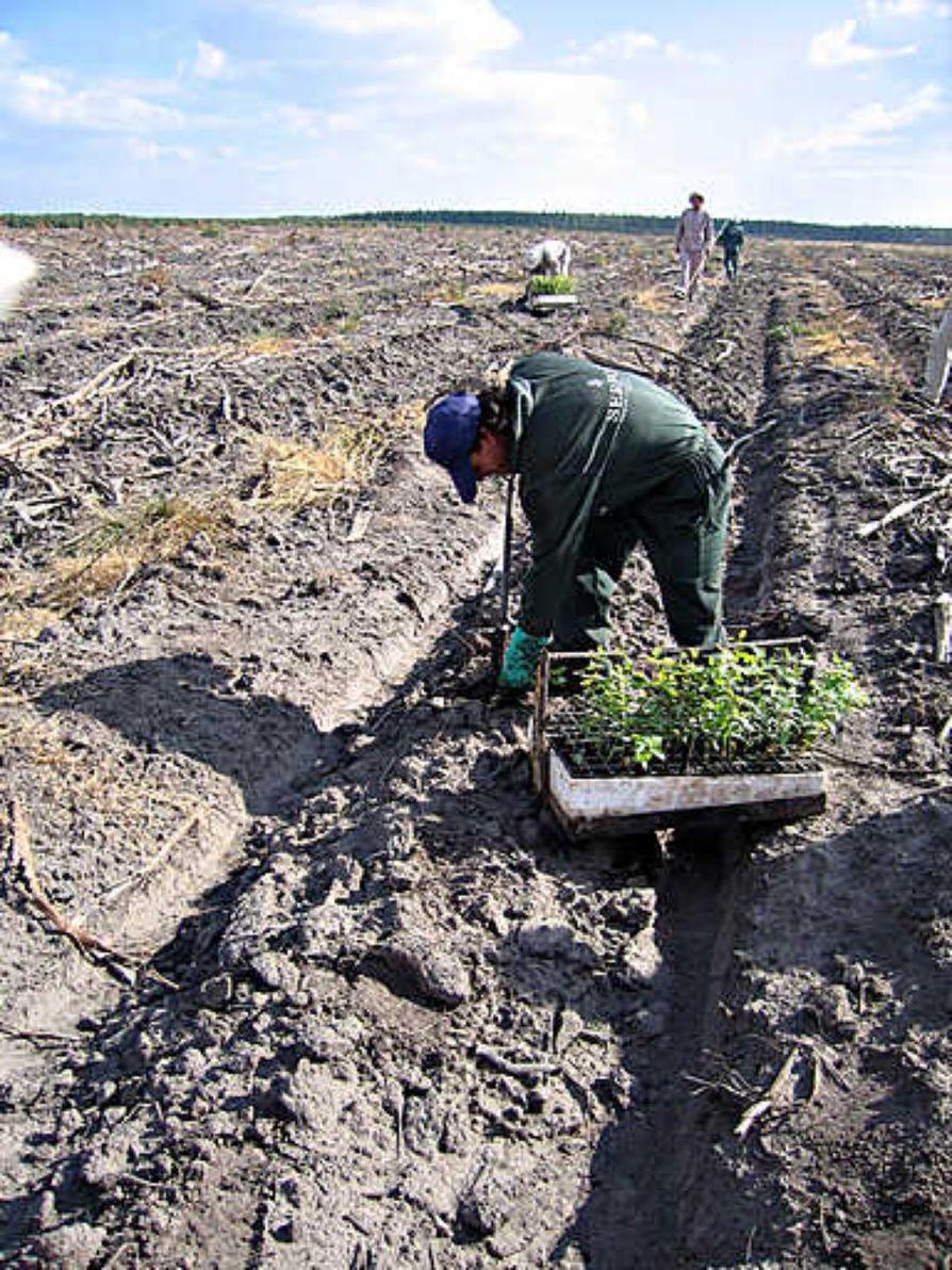 Eukalyptuksen taimien istutus on raskasta työtä, sillä sateita ei ole saatu kuuteen viikkoon.