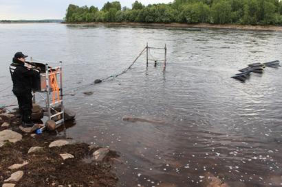 Tornionjoen lohilla poikkeuksellista vaelluskäyttäytymistä – suurin osa palasi lyhyen joessa käynnin jälkeen merelle, eikä kutenut