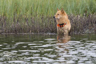 Pikinokista parhaat kilpasilla Syötteellä ja Taivalkoskella viikonloppuna – vain 12 koiraa pääsee karsintojen kautta mukaan