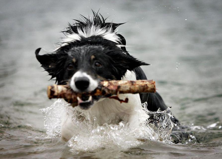 Metsästyslain määräämä koirien kiinnipitoaika alkaa koko maassa sunnuntaina 1. maaliskuuta. Kuvan koira ei liity tapaukseen. Arkistokuva.