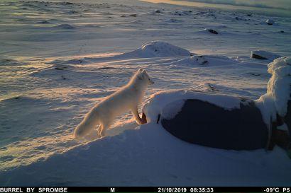Norja vapautti 12 naalia lähelle Käsivarren erämaa-aluetta – Eläimiä autetaan lisäruokinnalla