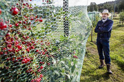 Ratasjärven hedelmätarha kasvaa hyvin ja laajenee Pellossa – rantatörmälle on suunnitteilla tuhansien puiden viljelmä