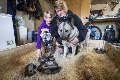 Korona on kasvattanut koirien kysyntää – Kennelneuvoja pelkää, että osa pennunhankkijoista voi olla tekemässä harkitsematonta ratkaisua