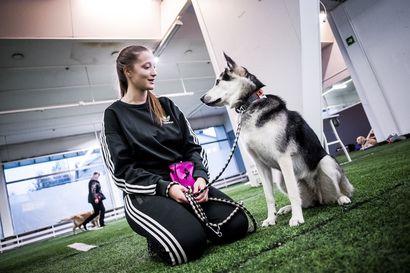 Nuuskut toivat seuralleen harjoitushallin Rovaniemen keskustaan – alustana on entinen jalkapallokentän tekonurmi, jolla kelpaa tassutella