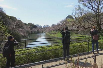 Kevät tuli aikaisin Japaniin – perinteistä kirsikkapuiden ihastelua hillitsee turvavälit ja muut koronarajoitukset