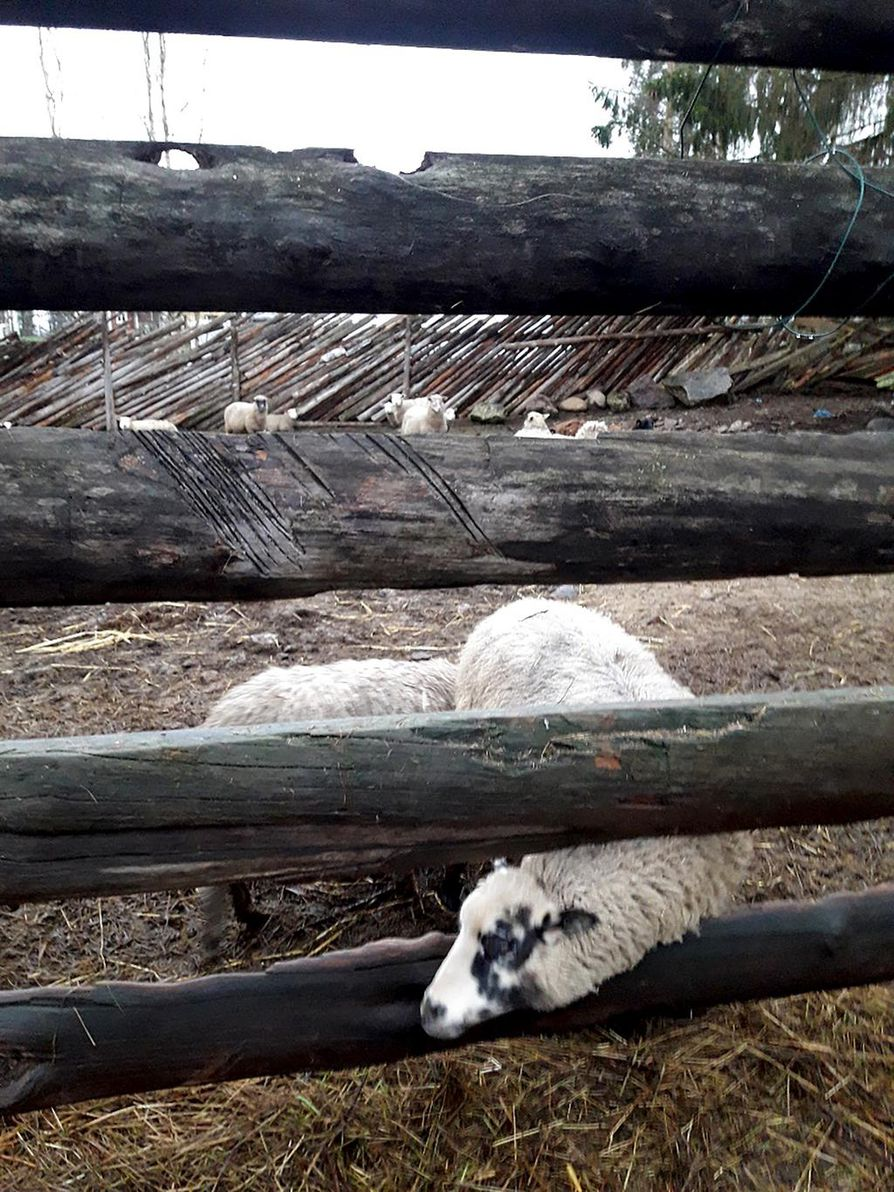 Tarkastusraportin mukaan lampaille ei ollut tarjolla rehua. Siihen kuvattiin lammas, joka etsii syötävää.