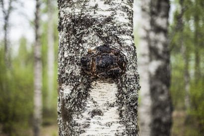 Juuri julkaistu keruukello havainnollistaa kerääjille, milloin luonnon raaka-aineita on saatavilla metsistä ja maastosta