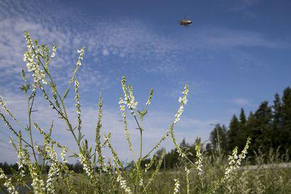 Liki kaksimetrinen piennarkasvi hämmentää Oulun seudulla – valkomesikkä saapui kaupunkiin jo 1860-luvulla, mutta miksi se leviää vasta nyt?