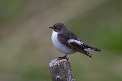 Lintujen muutto myöhässä – kirjosieppoja vasta pieni osa tavallisesta määrästä