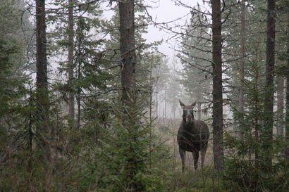 Rajavartiolaitos valvoo hirvenmetsästystä Koillismaalla ja Kainuussa ja muistuttaa metsästyskoirista rajalla