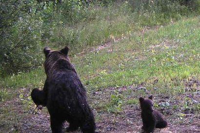 Näkökulma: Pyyntirautoihin loukkaantuneet karhut käynnistivät kiivaan keskustelun rautapyynnistä – Ministeri Lepältä on löytynyt empatiaa karhuille toistaiseksi vain sanojen tasolla