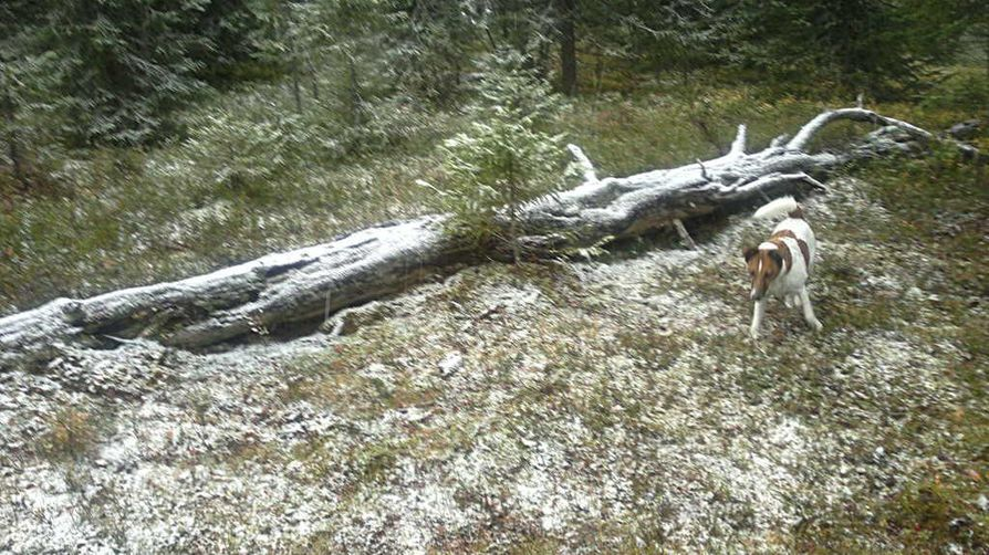 Sanni-koira ihmetteli ensilunta sunnuntaiaamuna Posiolla.