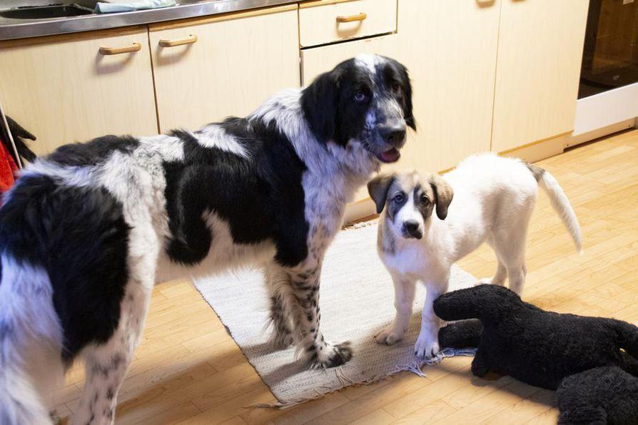 Nitaa kaipasi kovasti myös perheen Alma-koira. Almaa käytettiin apuna etsinnöissä levittämässä tuttua hajujälkeä.