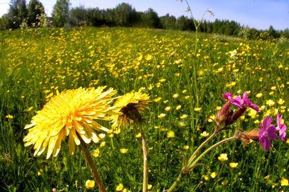 Luonnonniityt ovat vaarassa kadota – Vuoden maisemateko -kilpailussa etsitään hyvin hoidettua tai kunnostettua niittyä