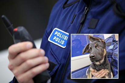 """Saksanpaimenkoira Unto vahvistaa Oulun poliisilaitosta Kajaanissa – """"Untosta tulee isona terävä ja taitava poliisikoira"""""""