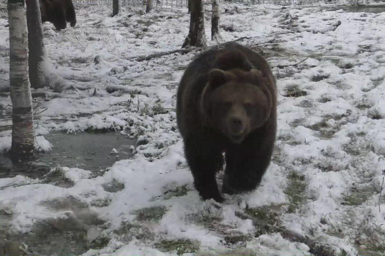 Juuso-karhu valmistautuu talviunille