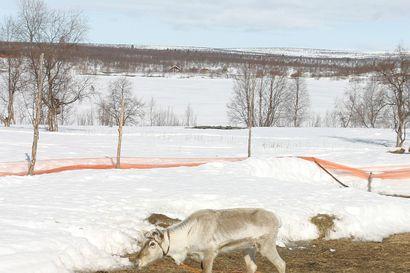 Vapaana juoksevat koirat raatelevat joka vuosi kymmeniä poroja ja myös kotieläimiä. Metsästyskoira kannattaa opettaa toimimaan poronhoitoalueella.