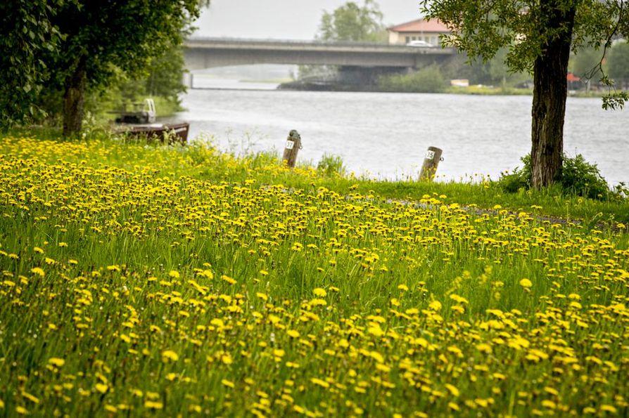Voikukkien loistoa Oulujokivarressa.