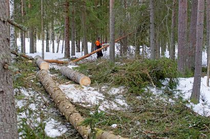 Hakkuuaikomukset alenivat – epävarmat näkymät taloudessa ovat hidastaneet metsänomistajien hakkuuaikomuksia Pohjois-Pohjanmaalla