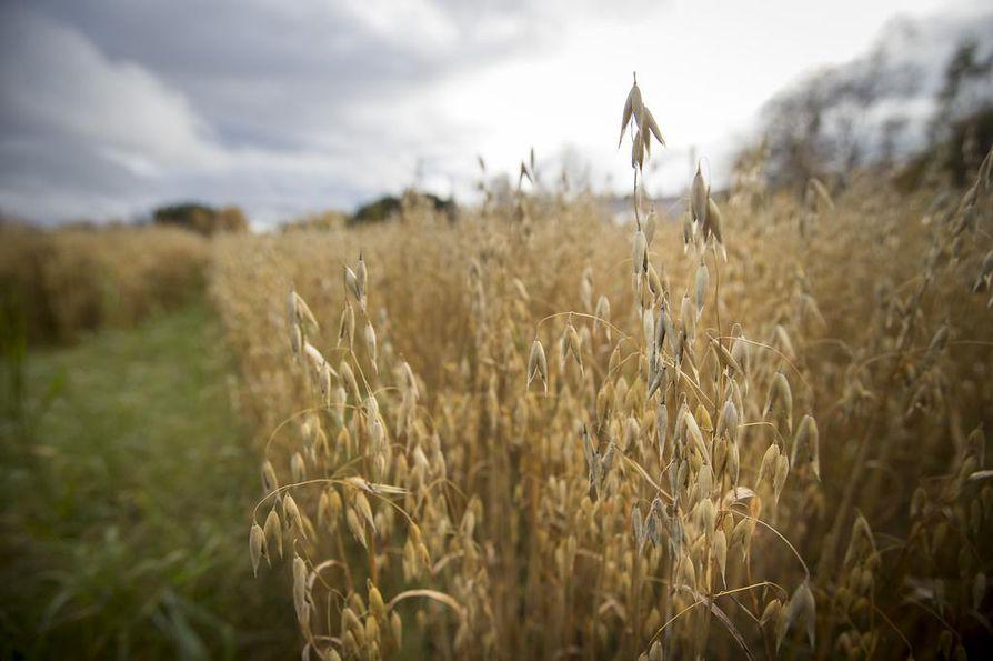 Viime vuonna viljasato oli 30 prosenttia normaalia pienempi – pienin yli 30 vuoteen. Nyt sadosta odotetaan tulevan normaali.