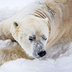 """Ranuan eläinpuiston jääkarhu Nord jouduttiin lopettamaan, kun nopeasti edennyt sairaus vei eläimen voimat – """"Syntymä ja kuolema kuuluvat eläinpuiston arkeen, mutta henkilökunta on tosi surullinen"""""""