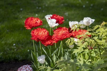 Oulunsalolaisessa puutarhassa on kukkaloistoa läpi kesän – katso kuvia pihan muutosleikistä