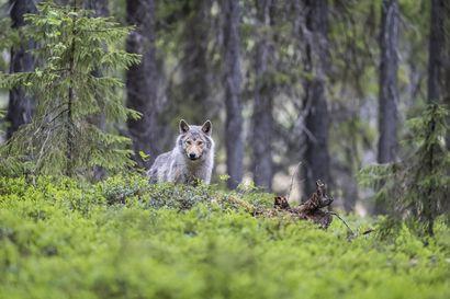 Suden suojelutason määritystyö vasta alussa – Ministeriö ei tee vielä päätöstä kannanhoidollisesta metsästyksestä