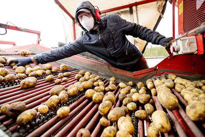 Maistuisiko kausityö maatalouden parissa?