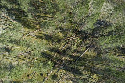 Tiistain Paula-myrsky aiheutti Koillismaan metsiin kymmenien miljoonien eurojen vahingot