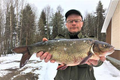 Iso säynävä verkkoon Kitkajärvestä – Julmetun kokoisen kalan pituus ylsi yli verkkomiehen hartioiden välin