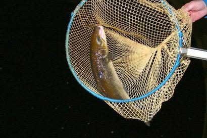 Kalastus vie isot kalat – nämä superyksilöt lisääntyvät parhaiten ja ylläpitävät elinvoimaisia kalakantoja