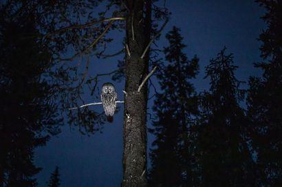 Lapinpöllöhavainnosta tarjolla löytöpalkkio – Kansainvälinen kuvausryhmä haluaisi kuvata saalistavan pöllön