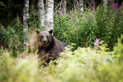 Riistakeskus: Karhunmetsästys itäisellä poronhoitoalueella on päättynyt –kiintiön kaikki 70 yksilöä on kaadettu
