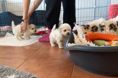 Kalevan koiranpentulive –  katso, mitä valkoiset hurmurit touhusivat tiistaiaamuna