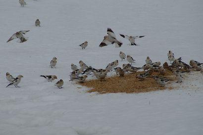 Lintukevät alkoi - liki kurjen kokoinen jalohaikara seikkaili eri puolilla Kemiä