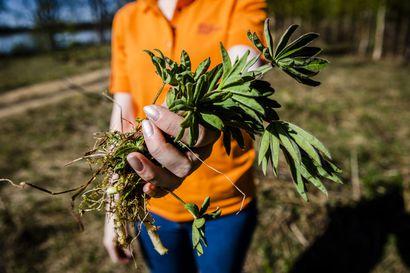 Torniossa ja Keminmaalla torjutaan vieraskasveja jäteastioilla – Omatoiminen torjunta on täyttänyt astiat jo useampaan otteeseen