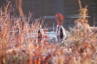 Lintupaikka: Monimuotoista elämää Harjulammella